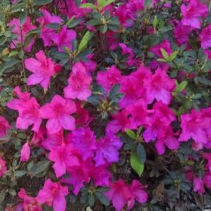 Encore Azalea (rhododendron) blooms