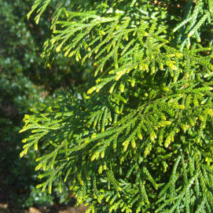 Thuja Arborvitae Foliage