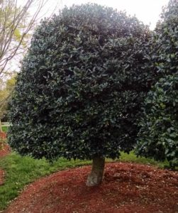 American Holly - single trunk