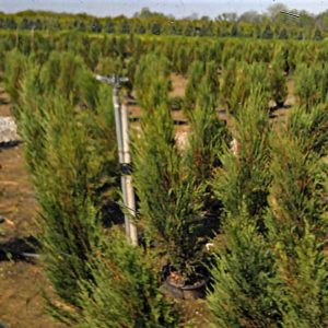 Junipers in growing field