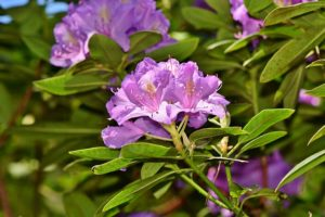 Rhodedendron Blooms