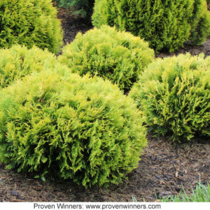 Anna's Magic Ball Thuja from Proven Winners