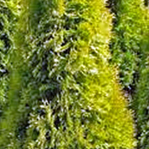 Golden Arborvitae foliage