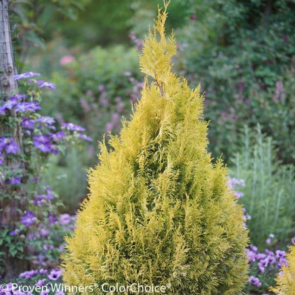 FLUFFY Arborvitae