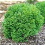 Tiny Tot Arborvitae