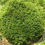 Boxwood shrub
