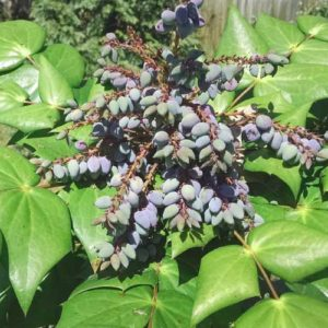 Oregon Grape Holly Mahonia