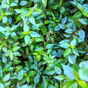 abelia foliage