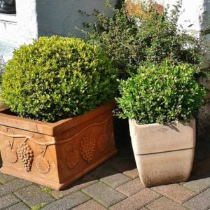 Boxwoods in containers