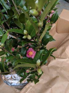 Winter Joy Camellia