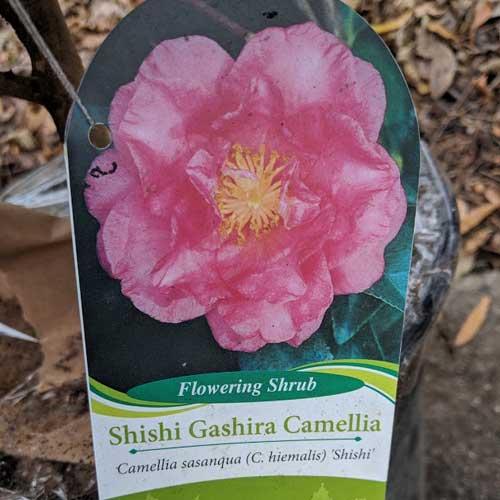 SAhishi Gashira Camellia