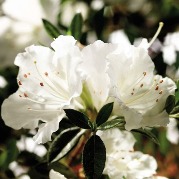 White Encore Azalea