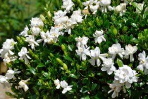 Flowering Gardenia Bush