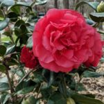Kramer's Supreme Camellia