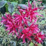 Loropetalum evergreen flowers