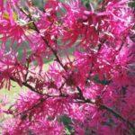 Loropetalum flowers