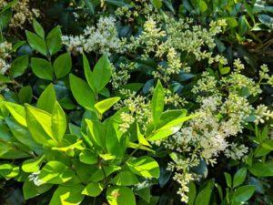 Privet Ligustrum foliage & flowers