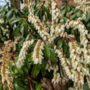 Pieris Blooms