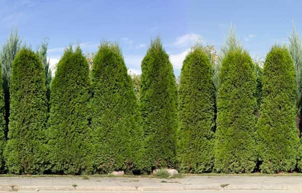 Arborvitae privacy screen