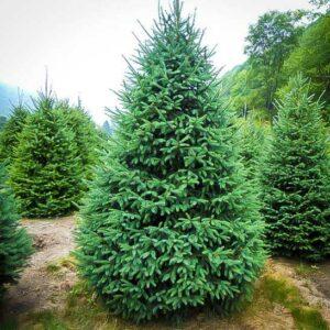 Black Hills Spruce Trees