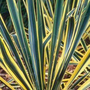 Bright Edge Yucca