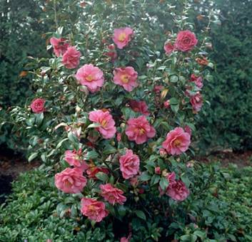 Pink Camellia Shrub