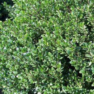 Dwarf Holly Foliage