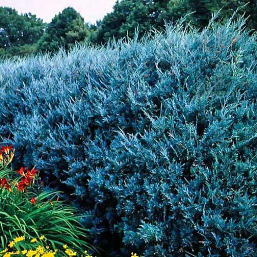 Wichita Blue Juniper