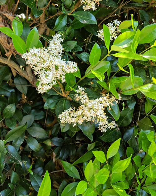 Privet Ligustrum flowers & foliage
