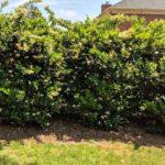 Ligustrum Privet privacy hedge