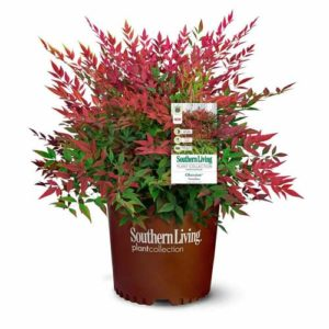 Southern Living Obsession Nandina