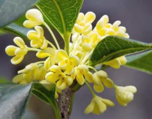 Osmanthus flower