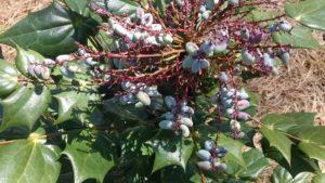 Birds love the berries!