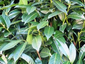 Bay Laurel foliage