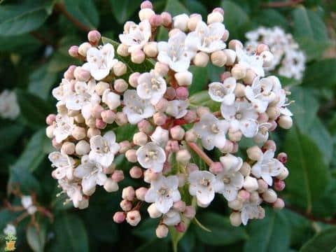 spring bouquet viburnum