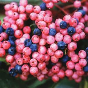 Brandywine Viburnum fruit