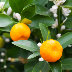 California Honey Mandarin Tree