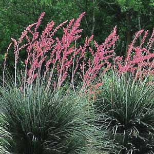 Texas Red Yucca