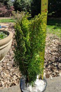 Berkman's Golden Arborvitae 1 gallon