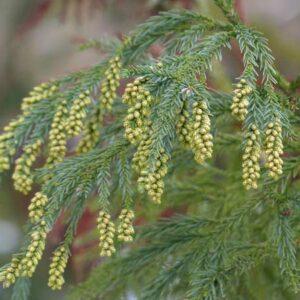 Cryptomeria Yoshino foliage