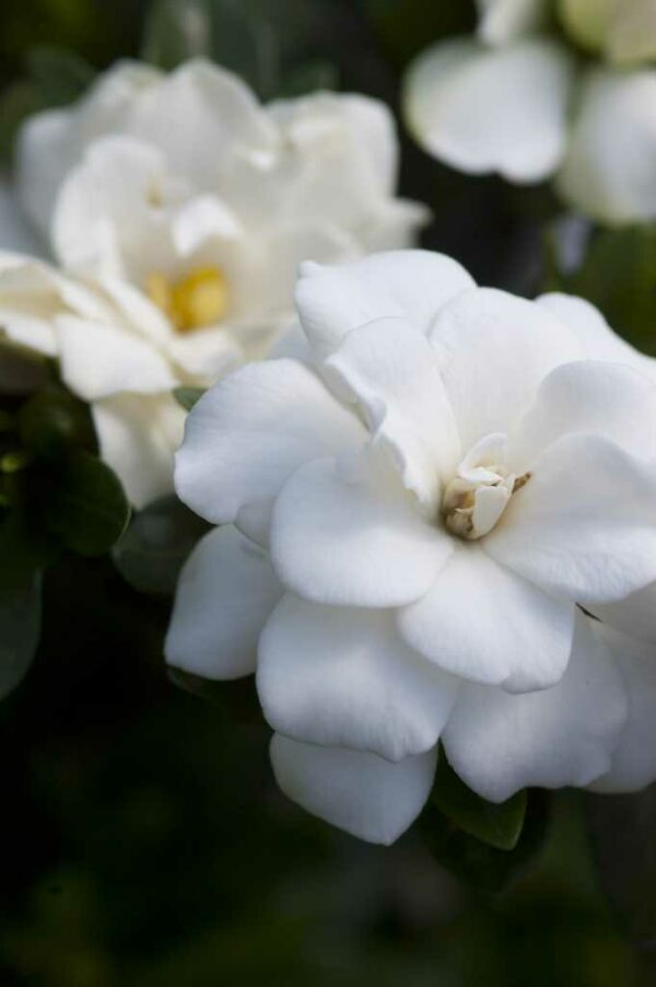 Double Mint Gardenia blooms