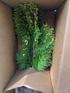 Arbroviate shrub delivered