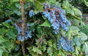 mahonia berries
