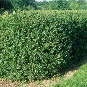 California Privet