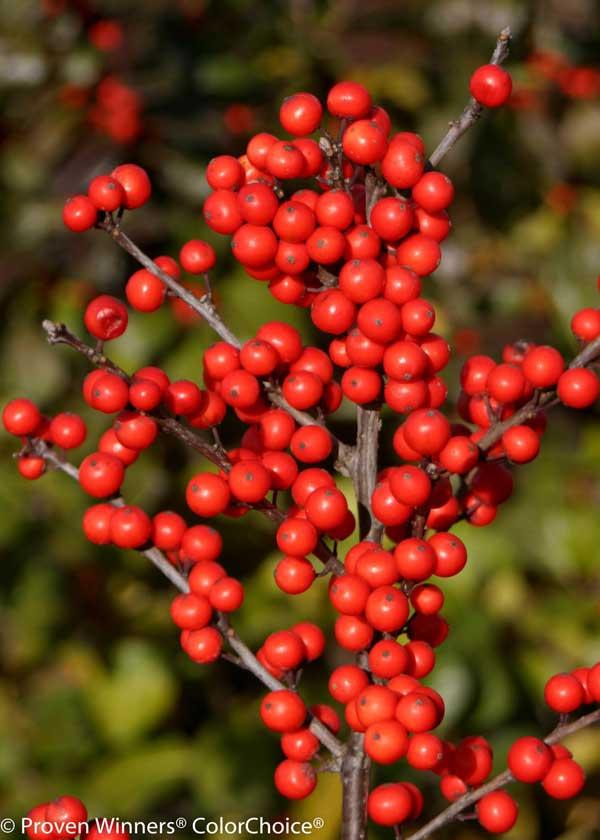 Berry Heavy Winterberry