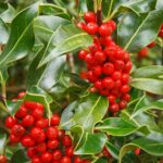winter red holly berries
