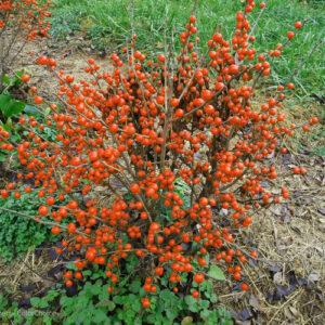 Little Goblin Orange Winterberry Holly