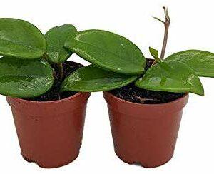 Green wax plants