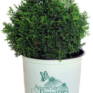 American Beauties Native Plants - Chamaecyparis thyoides 'Top Point' (Dwarf White Cedar)