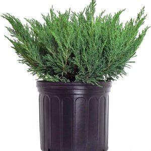 youngstown juniper
